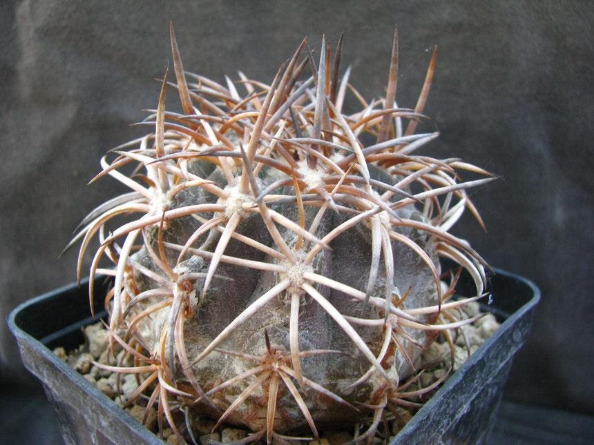 Echinoides, Totoral, pianta donatami anni fa da Franco Corti
