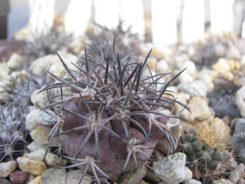 Echinoides, ja 105, high mountains nord huasco. Sawn in 2012
