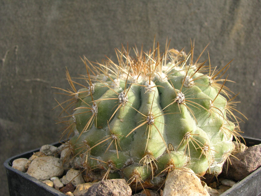 Ibrido naturale, Krainziana x cinerea GC 298.08,S.Ramon, plant bought from Graham Charles collection