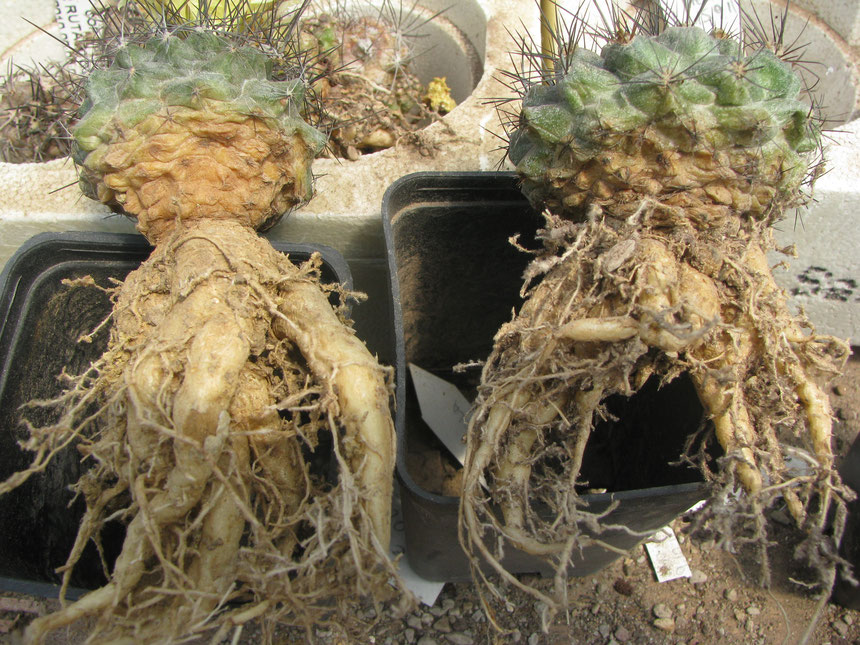 humilis root