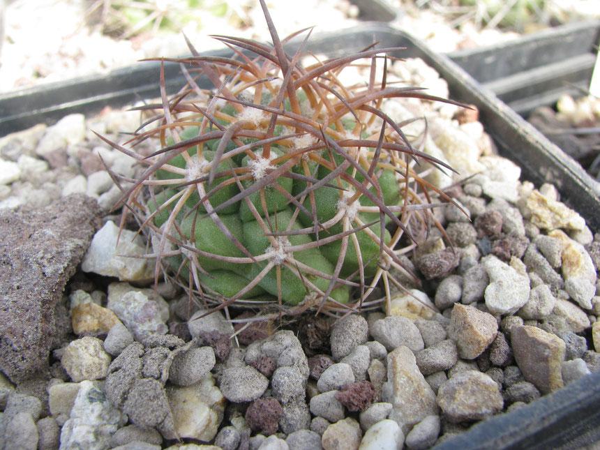 andina, 2010 seedling