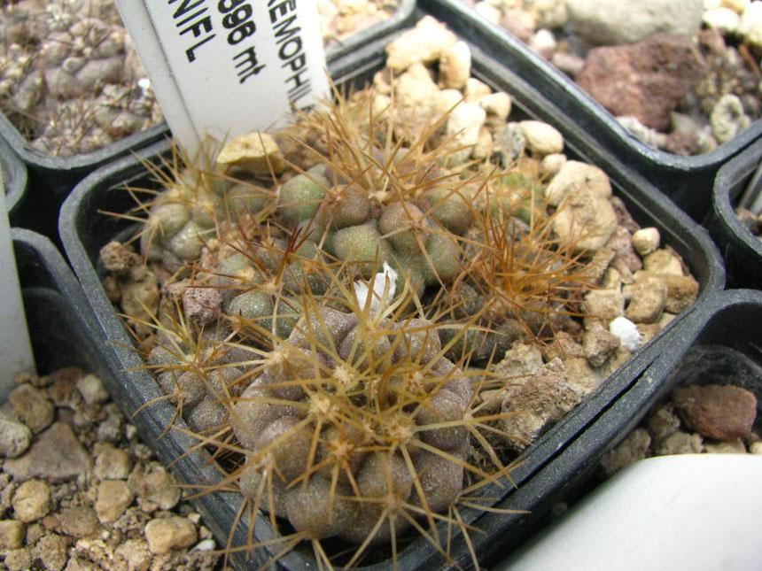 eremophila,est Paposo,semina 2011