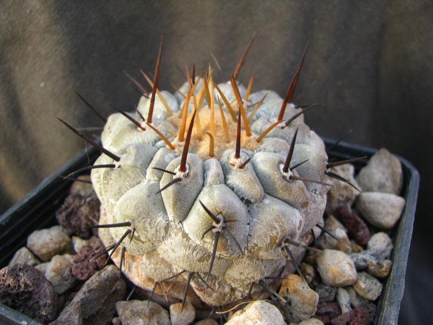 Columna alba,quebr.Agua Salada,mt 150,pianta seminata dall'amico Marco Giani