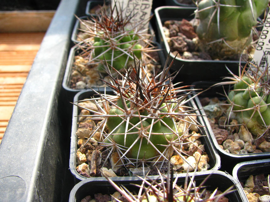 Coquimbana rs1452,Vallenar, semina 2009