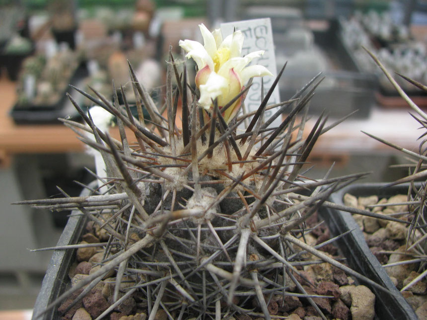 Megarhiza echinata, Totoral