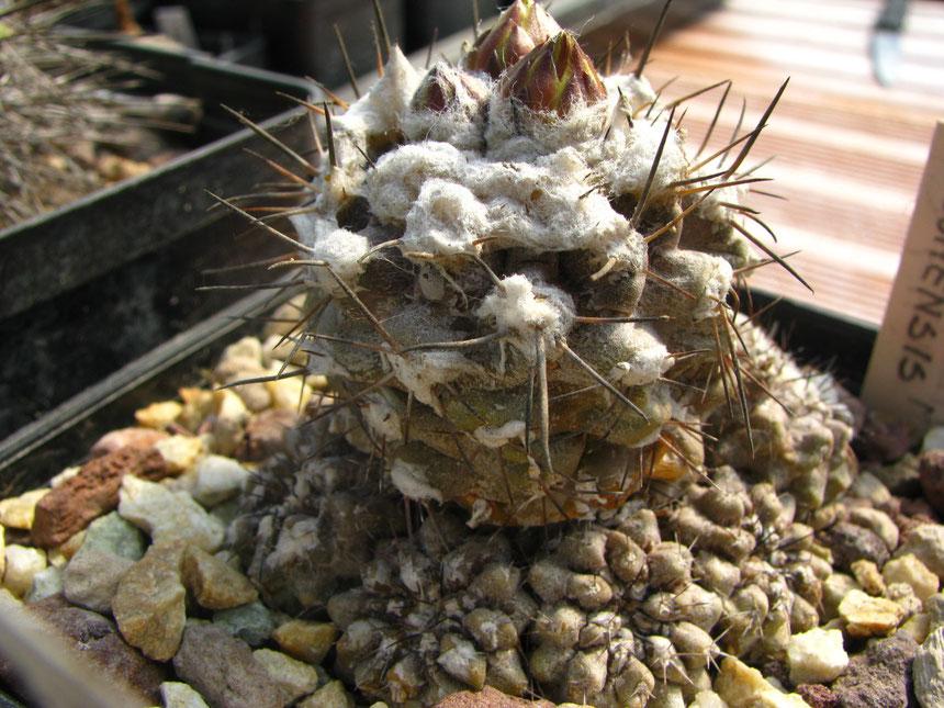Leonensis, pianta donatami anni fa dall'amico Franco Corti