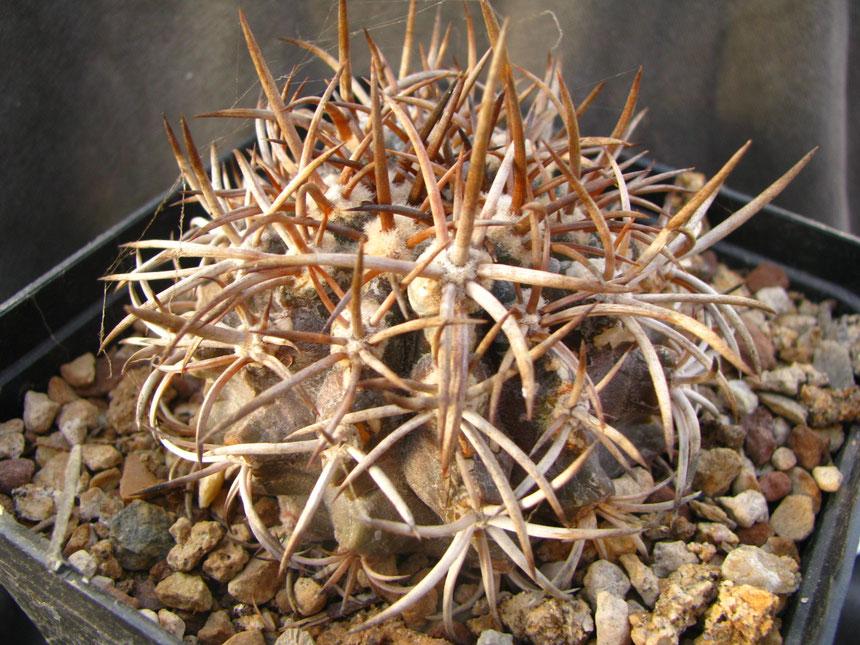 """Echinoides """"dura"""""""