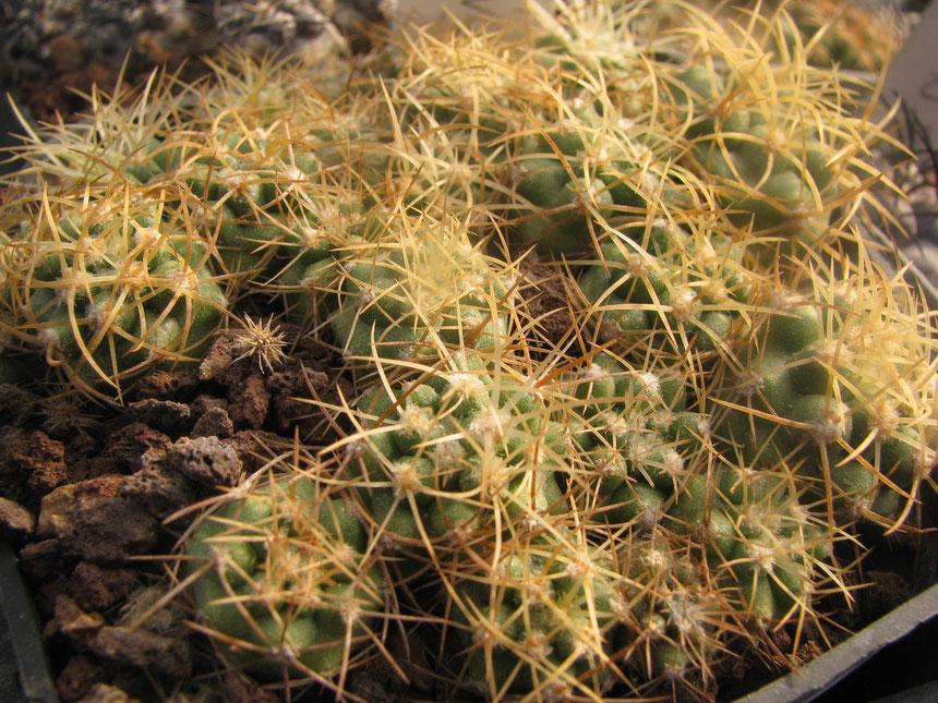 Coquimbana ssp.andina, 2 years seedlings