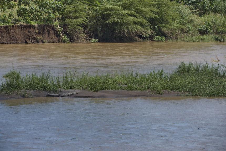Río Grande de Tárcoles, im Vordergrund ein Spitzkrokodil (Crocodylus acutus)