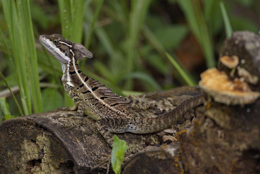 Helmbasilisk (Basiliscus basiliscus), junges Männchen