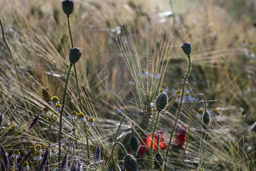 Feldblumen und Spinnennetz. Selektive Schärfe. Altglas an der Digitalkamera: 2/85mm JUPITER-9, Kamera Nikon Z7. Foto: bonnescape.de