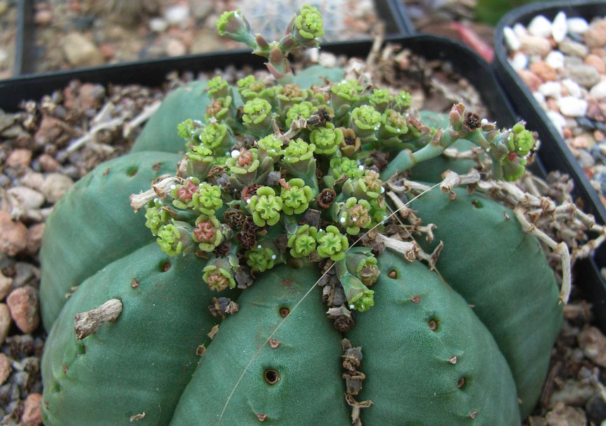 Euphorbia nach dem Frühjahrsputz