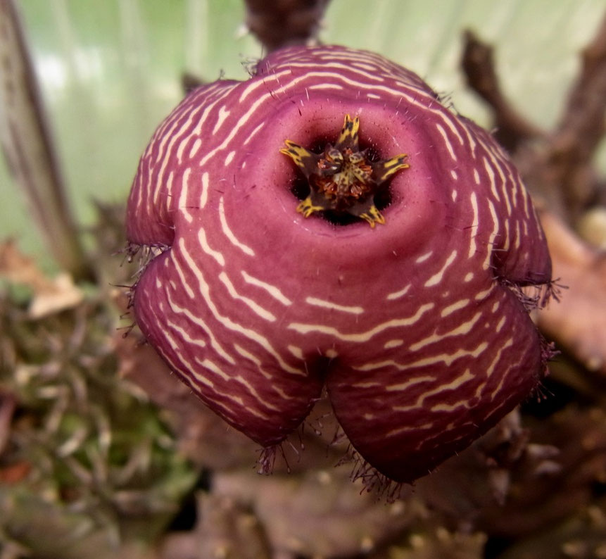 Piranthus parvulus