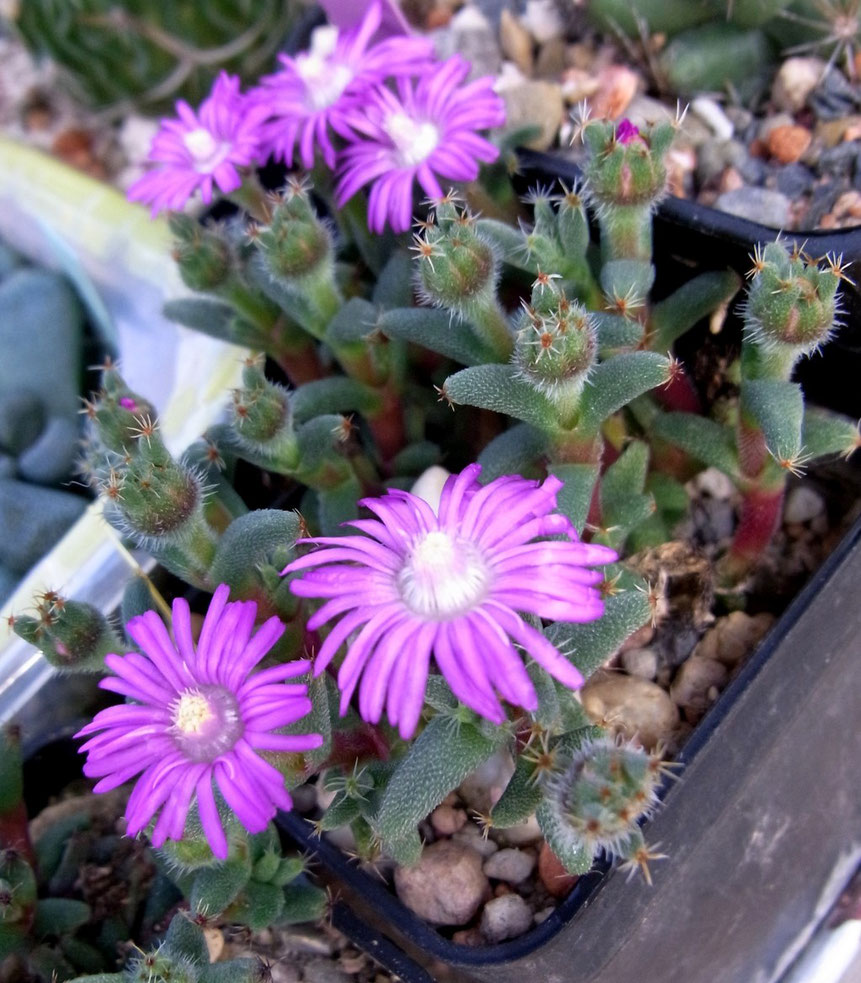 Trichodiadema stellatum -? blüht im Spätherbst und Winter