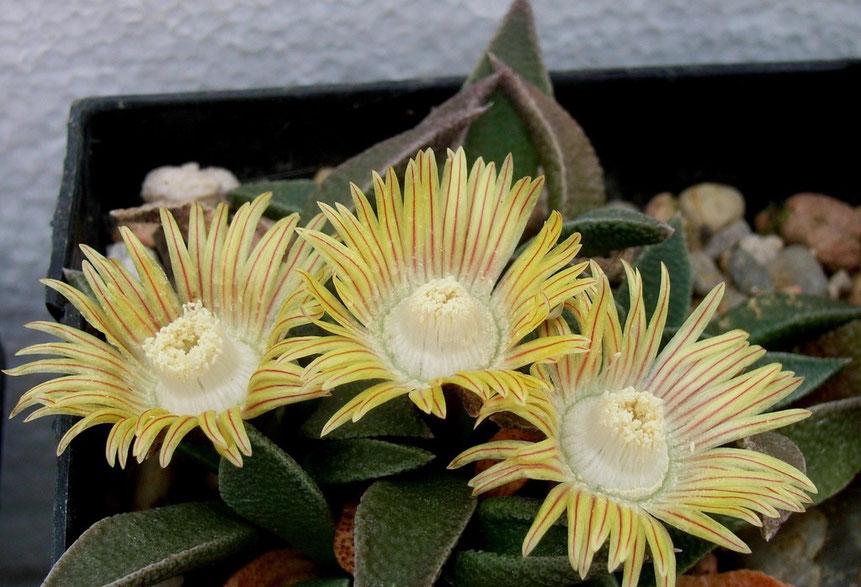 Nananthus translaavensis - soll gut kälteverträglich sein