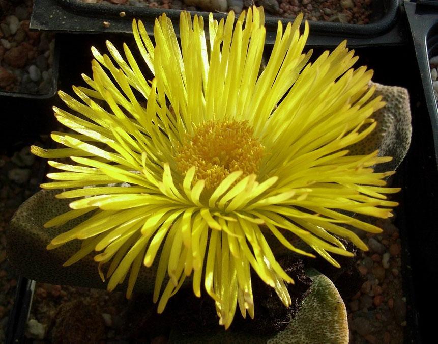Pleisopilos - sehr grosse, lange haltbare Blüte