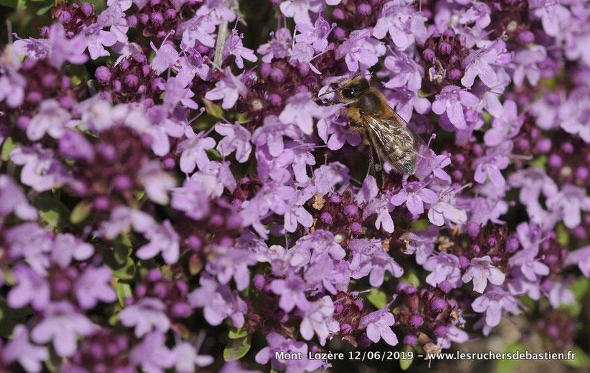 Apis mellifera et Thymus nitens, Cévennes
