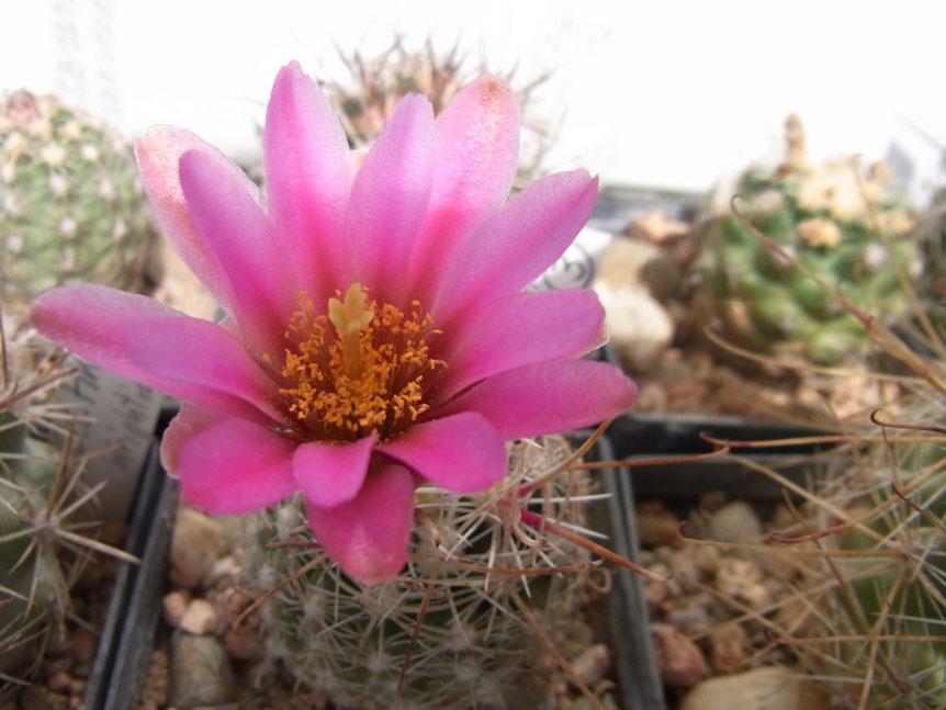 Sclerocactus nyensis
