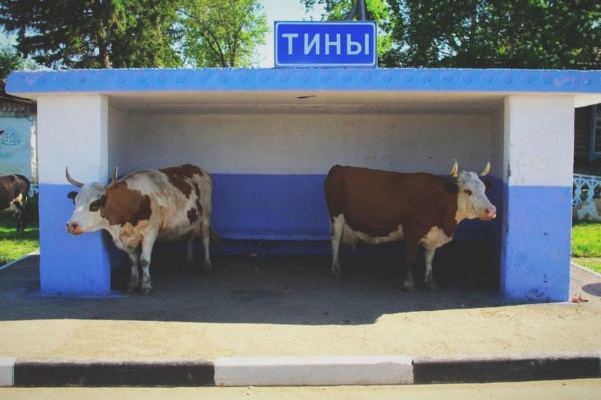 bigousteppes russie sibérie vache