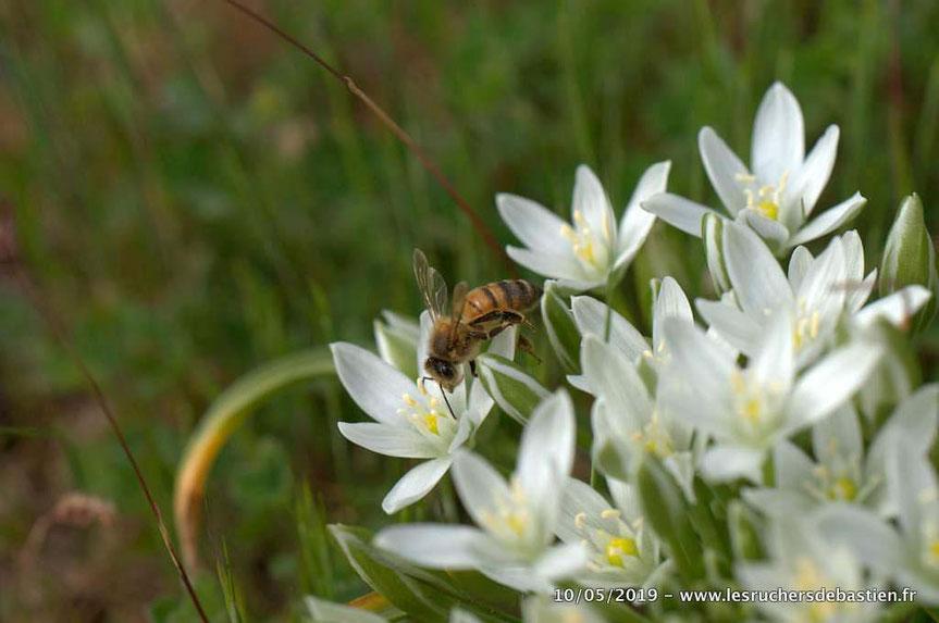 Insecte apis mellifera en train de butiner Ornithogale Cévennes