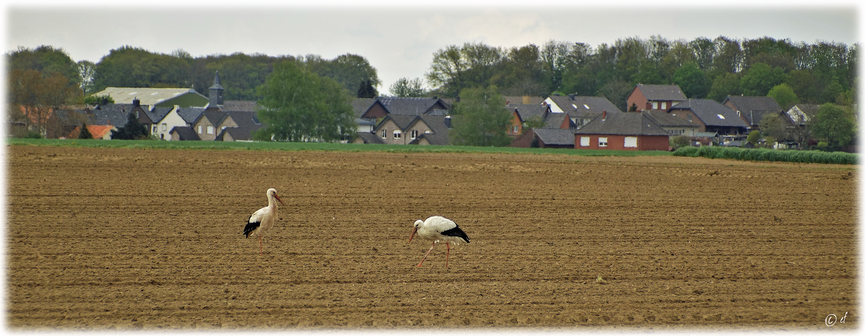 Zwei Weiß-Störche in der Nähe einer Siedlung (hier: Schalbruch/Selfkant)