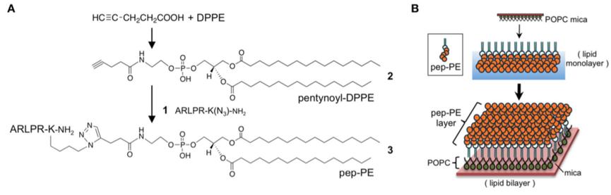図1 ペプチド結合脂質pep-PEを含む膜の調製。(A)糖鎖模倣ペプチド(Ala-Arg- Leu-Pro-Arg)が結合した脂質(pep-PE)の合成。 (B)POPC被覆マイカにpep-PE脂質膜を重ねてpep-PE脂質二重層を得た(文献1)。
