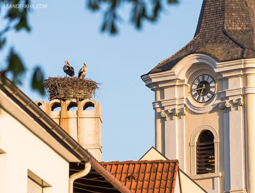 White Storks / Weißstörche in Podersdorf