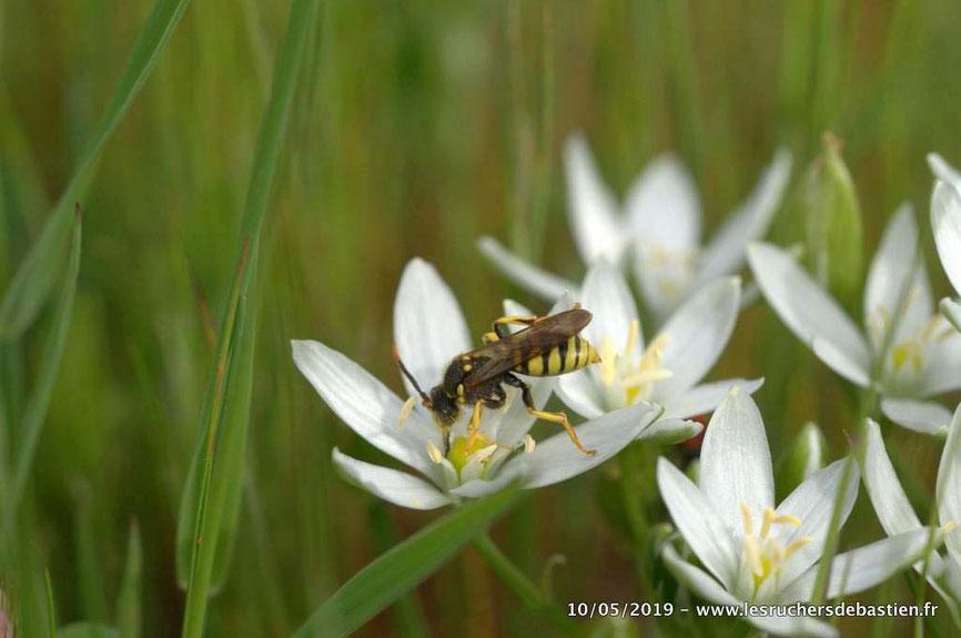 hymenoptere Nomada succincta famille des apidae Cévennes