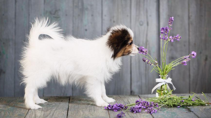 Hund riecht an Lavendel