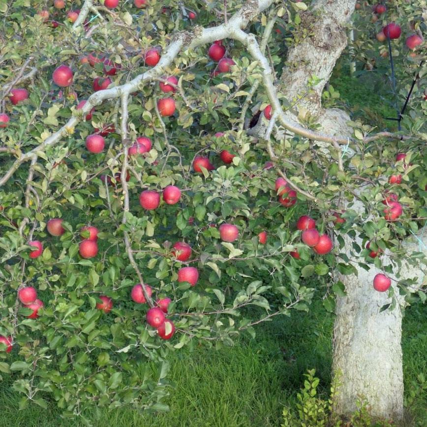 Leica C-lux 高山市山口町桂川果樹園のりんご畑↑