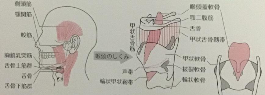 頸部聴診法や嚥下リハビリに必要な喉頭の解剖図