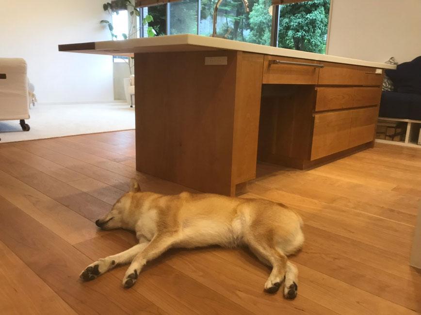 居心地がいいから、柴犬君もキッチンそばでお昼寝。