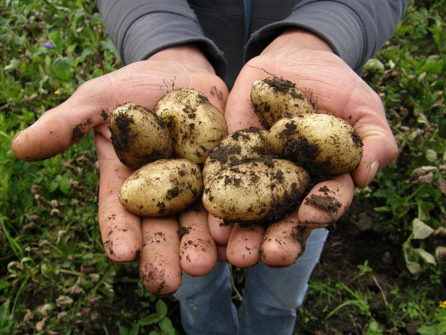 Biodynamische Kartoffeln, Demeter Kartoffeln, Kartoffelernte, Die Präparatekiste