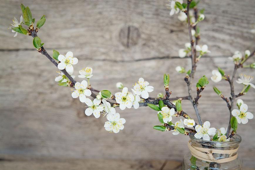Kirschblüten, Barbarazweige, Die Präparatekiste