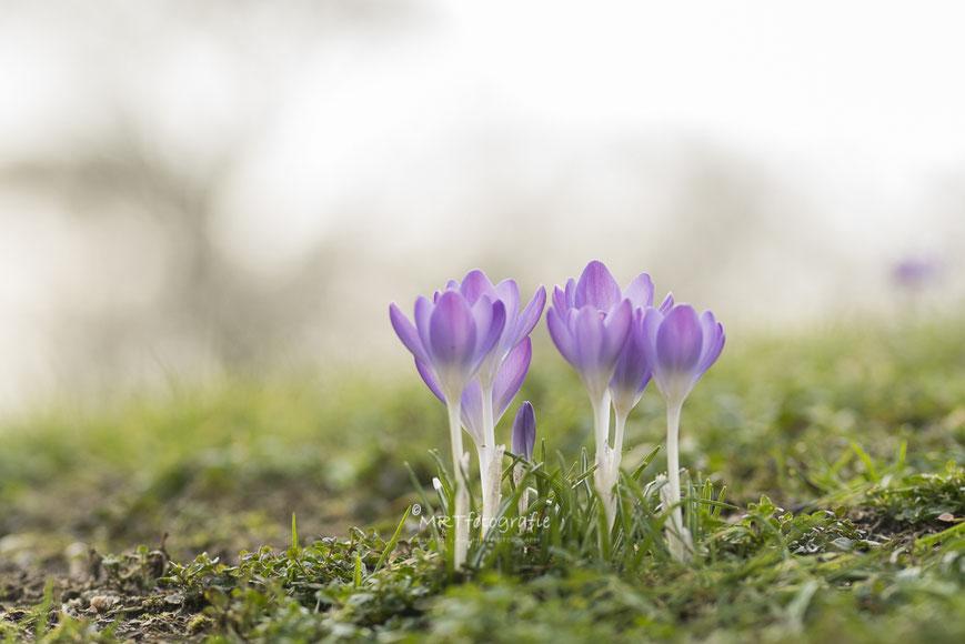 Polletje paarse krokussen tegen grauwe lucht. Beperkte scherptediepte