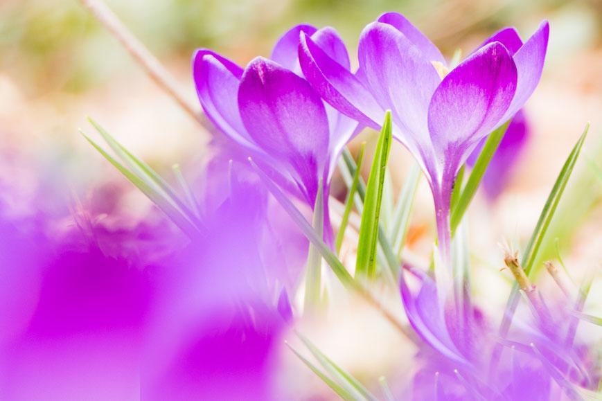 Close up van paarse krokussen met telelens door andere krokussen