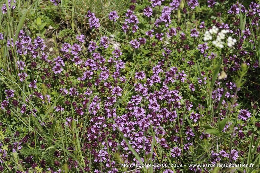 Thymus nitens des Cévennes