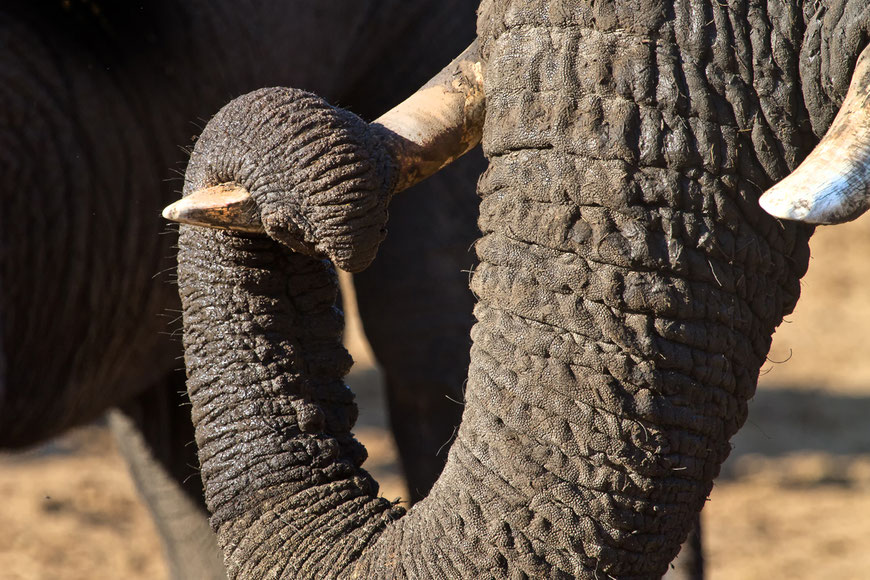 Matthias Gößmann: Elefant im Hange Nationalpark, Zimbabwe