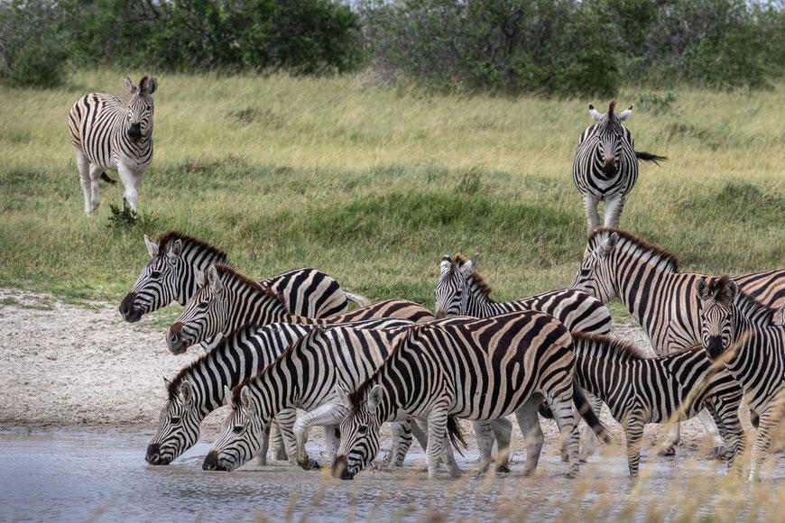 Matthias Gößmann_Chapman-Zebras im Makgadikgadi Pans Nationalpark