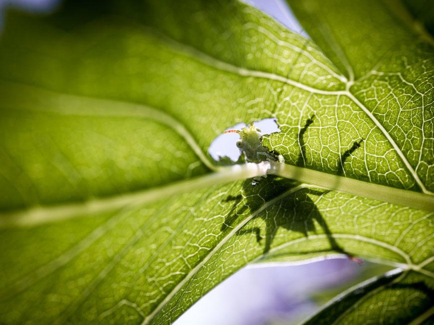 Eichenschrecke