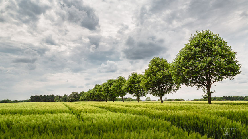 Allee am Rande eines Roggenfeldes in Ibbenbüren, Münsterland, Landschaftsfotografie, Landschaft