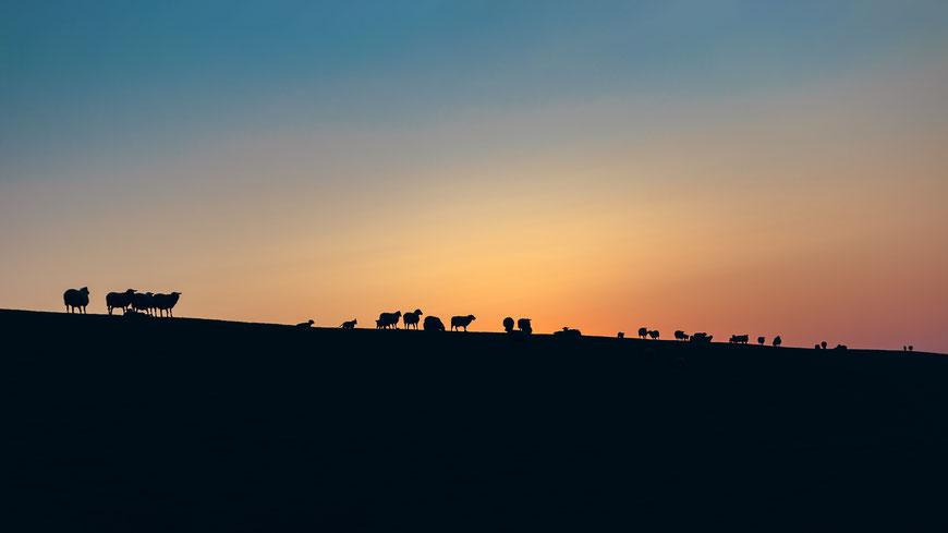 Schafe auf dem Deich in Norddeich, Deutschland bei Sonnenuntergang, Landschaftsfotografie, Landschaft
