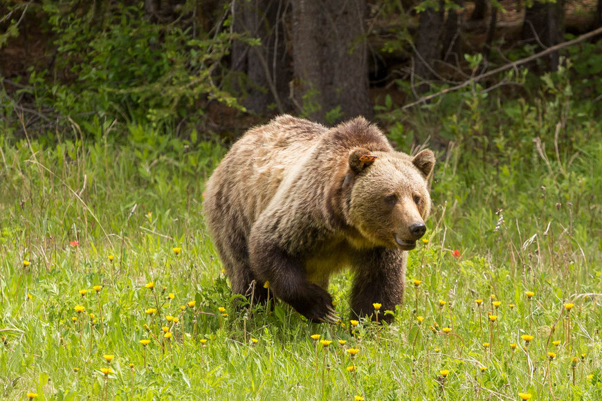 Grizzly 152 spotted along Highway 40
