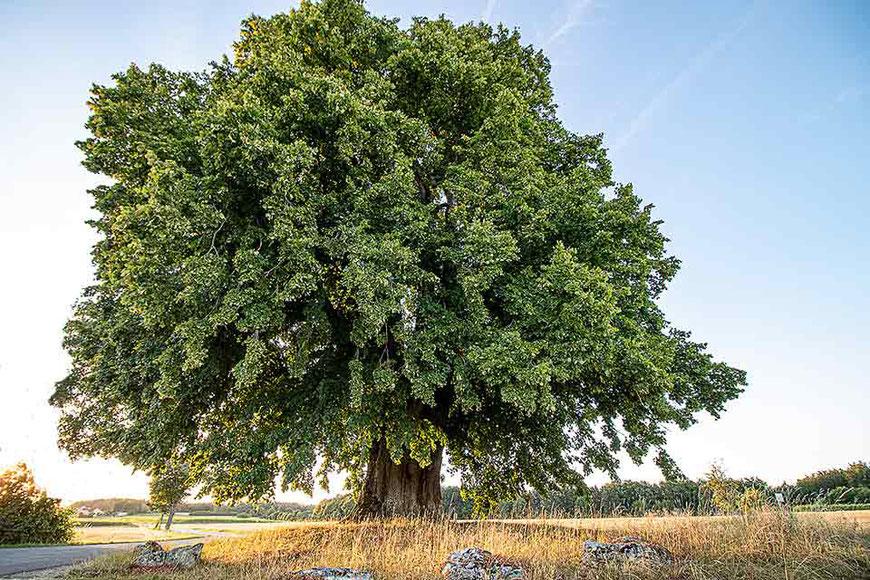 Ein alter Baum. Große Linde bei Teuchatz