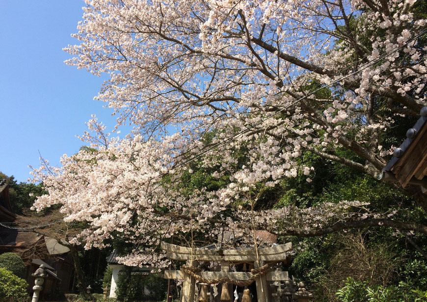 小鯖八幡宮の桜の写真