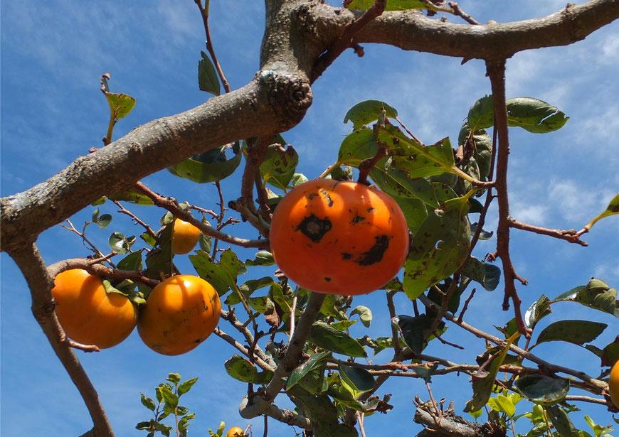 エステ屋ゆず店舗前の柿の木