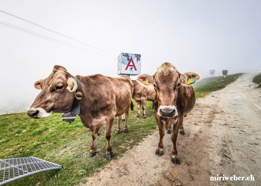 Kühe, Laax, Crap Sogn Gion