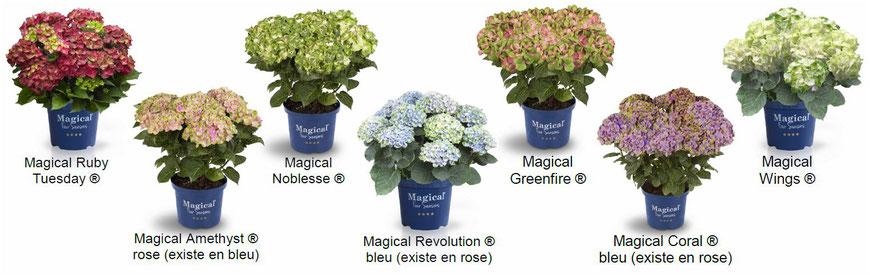 ©MAGICAL FOUR SEASONS, toutes les variétés hortensias