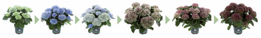 ©Magical Colours Your Home, changement de couleurs durant la floraison = Magical Révolution bleu
