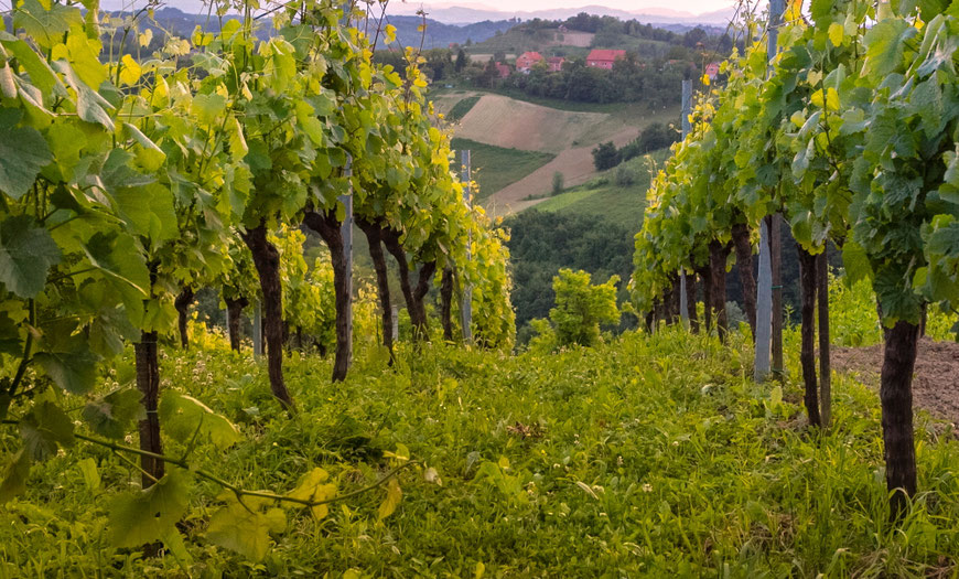 Vuglecų vynuogynai Vuglec Breg kalne